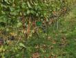 Trauben bei der Reife - mit freundlicher Genehmigung des Weingutes Lutz