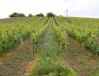 Blütezeit im Weinberg - mit freundlicher Genehmigung des Weingutes Lutz